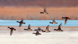 Ducks In Flight 28866