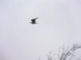 Gull In Flight DSCF00005