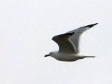 Gull In Flight DSCF00005 (crop)