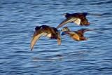 Ducks In Flight 20130404
