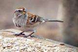 Sparrow On A Feeding Table DSCF00220