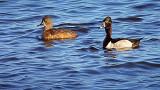 Ring-necked Ducks DSCF0192