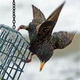 Starling On The Feeder DSCF00432