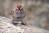 Sparrow On A Feeding Table DSCF00236
