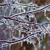 Iced Tree DSCF00438