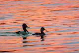 Ducks At Sunrise DSCF00389