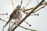 Sparrow In A Tree DSCF00473