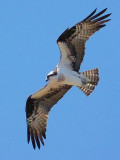 Osprey In Flight DSCF00569
