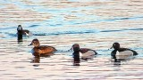 Ring-necked Ducks DSCF00245