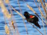 Red-winged Blackbird DSCF00616