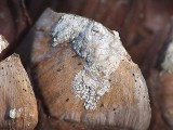 Pinecone Scale Closeup DSCF00594