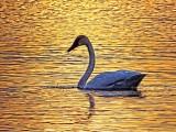 Sunset Swan 20130417