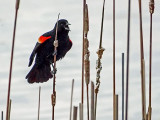 Red-winged Blackbird DSCF00745