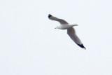 Gull In Flight DSCF00770