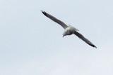 Gull In Flight DSCF00774