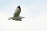 Gull In Flight DSCF00845