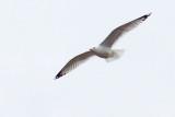 Gull In Flight DSCF00846