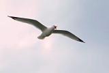 Gull In Flight DSCF00764