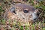 Groundhog Closeup DSCF00873
