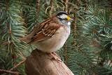 Sparrow On A Log 20130426