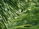 Dripping Pine Needles DSCF01209