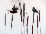 Mr & Mrs Red-winged Blackbird DSCF01304