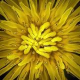 Dandelion Closeup DSCF01453