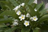Plumeria in the backyard