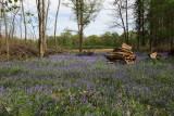 Le bois aux jacinthes