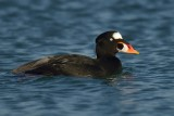 Surf Scoter - Male