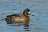 Greater Scaup - Female