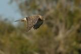 Northern Harrier ~ Female