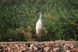 23. Great Egret - Casmerodius albus.