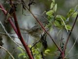 Lincoln's Sparrow: Bartow Co., GA (documentation shot)