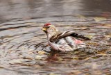 Common Redpoll bathing.jpg