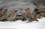 Bohemian Waxwings-Bathing.jpg