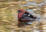 White-winged Crossbill1.jpg