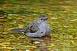 Gray Catbird bathing.jpg