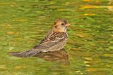 Harris's Sparrow bathing.jpg