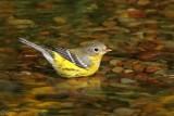 Magnolia Warbler bathing.jpg