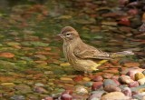 Palm Warbler bathing.jpg