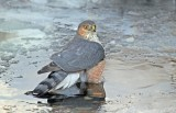 Sharp-shinned Hawk1.jpg