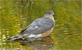 Sharp-shinned Hawk2.jpg