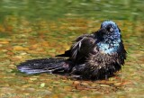 Common Grackle1.jpg