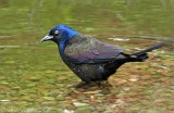 Common Grackle2.jpg
