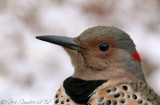 Northern Flicker3