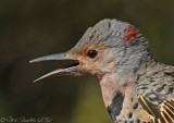 Northern Flicker2