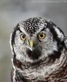 Northern Hawk Owl1
