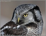 Northern Hawk Owl2