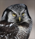 Northern Hawk Owl3